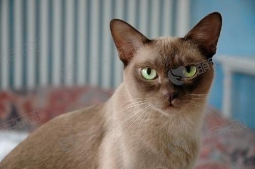缅甸猫怎么样?有哪些优点